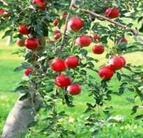 Сонник яблоневый сад