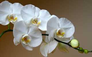 Сонник орхидеи цветущие