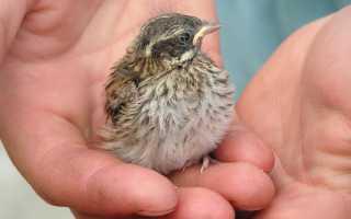 Сонник птенец в руках